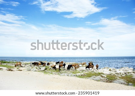 Cattle Drinking Water in Lake Malawi, Africa - stock photo