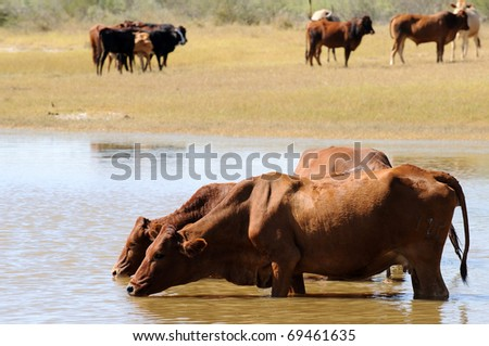 cattle drinking whilst standing in water - stock photo