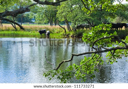 Cattle drinks from the river Lochay, near Killing, Scotland - stock photo
