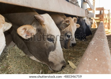 Cattle eating on confinement in farm