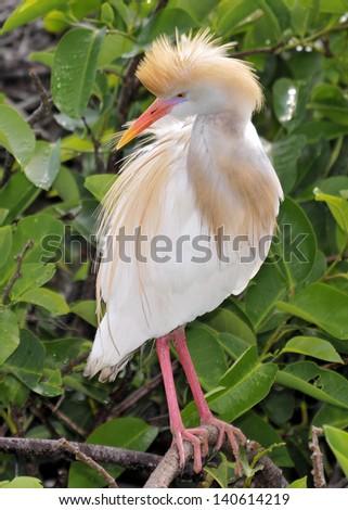 Cattle Egret - stock photo