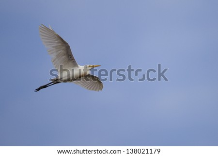 Cattle Egret (Bubulcus ibis coromandus), Asian subspecies, in flight over Koror in the Republic of Palau.