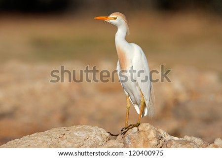 Cattle egret (Bubulcus ibis) perched on a rock, South Africa - stock photo