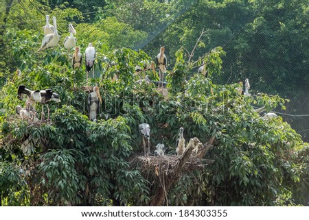 Cattle Egret, Bubulcus ibis, the nest with two chicks with green background - stock photo
