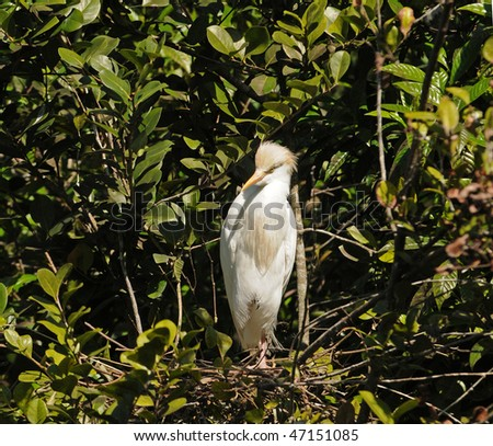 Cattle egret nest in the Florida Everglades - stock photo