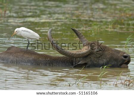 Cattle Egret resting on a Water Buffalo in Yala West National Park, Sri Lanka - stock photo