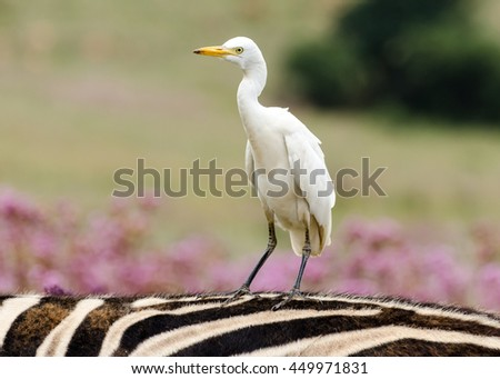 Cattle Egret sitting on the back of a zebra