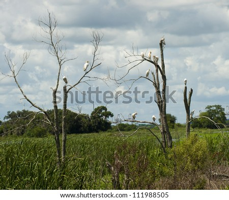 Cattle Egrets in dead trees in the Savannah National Wildlife Refuge with the Port of Savannah on the river in the background. - stock photo