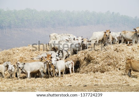 Cattle feed on a pile of corn waste - stock photo