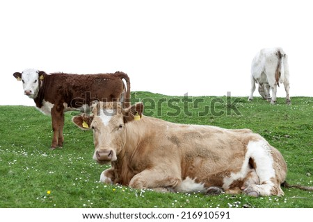 cattle feeding on the green grass of county Kerry Ireland on the wild atlantic way - stock photo