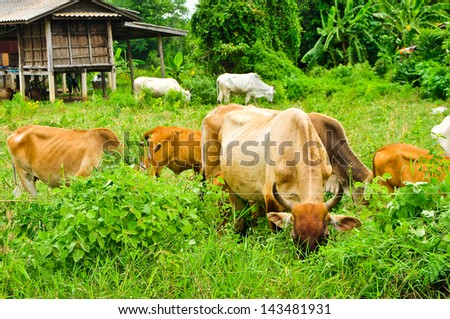 Cattle find for food in nature. - stock photo
