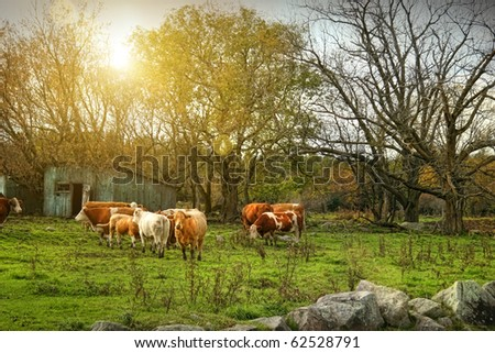 Cattle gazing on remaining green grass in late autumn - stock photo