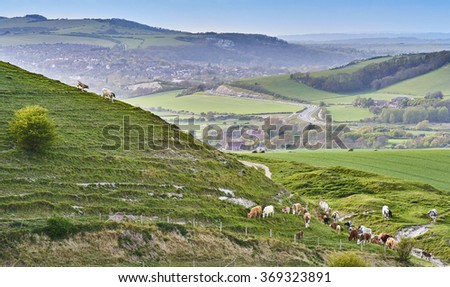 Cattle graze a steep chalk slope near Firle on the South Downs National Park - stock photo
