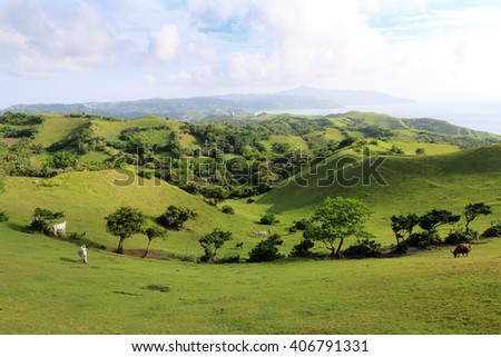 Cattle graze at the lush and hilly landscape at rolling hills on the island of Batan during evening hours, Batanes, Philippines