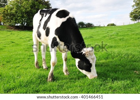 Cattle Graze in a Green Field - stock photo