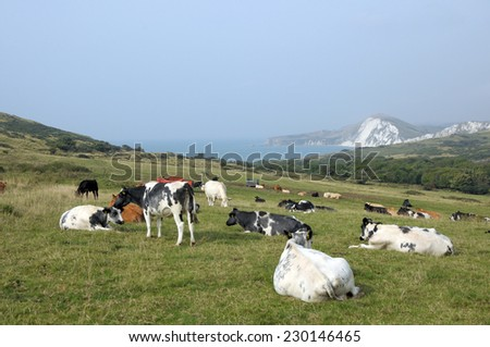 Cattle grazing above Dorset coast near Tyneham - stock photo