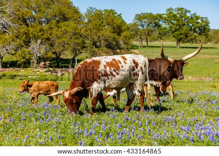 Cattle grazing in a bluebonnet field on a ranch in the Texas Hill Country. - stock photo
