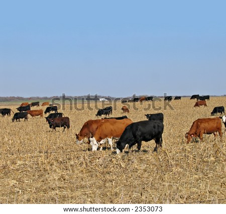 Cattle grazing in a corn field after the harvest