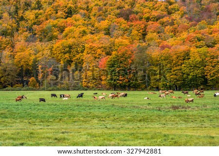 Cattle grazing in a field in Vermont during Fall Foliage Season - stock photo