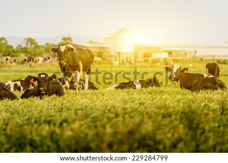 Cattle grazing in a field with the sun rising in the background - stock photo