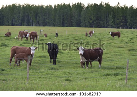 Cattle grazing in a pasture, Northern Alberta, Alberta, Canada - stock photo