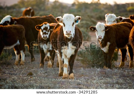 Cattle grazing in desert pasture.  Outback New South Wales, Australia, at sunset. - stock photo