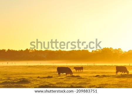 Cattle grazing in golden light of dawn - stock photo