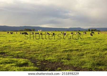 Cattle grazing in the open meadows in Australia - stock photo