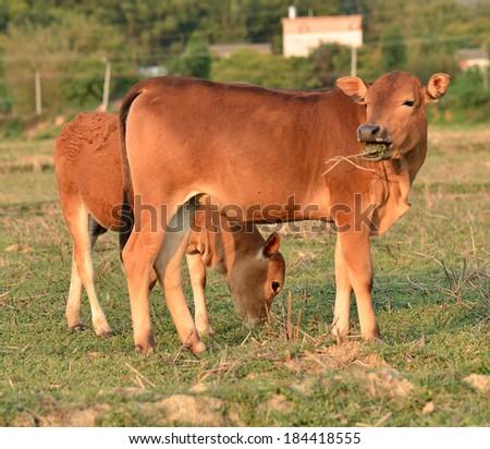 Cattle Grazing on Farmland - stock photo