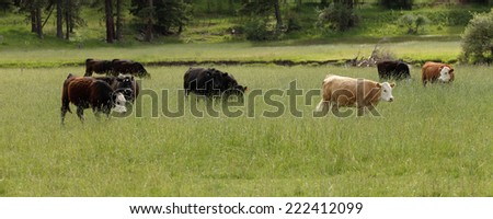 Cattle grazing on national forrest range land - stock photo