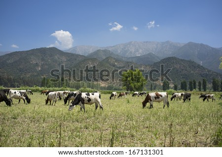 cattle grazing on pasture during the summer - stock photo
