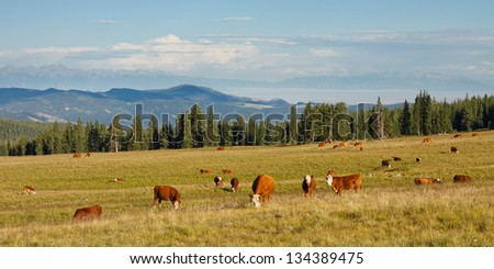 Cattle grazing on pasture in the Rocky Mountains, Colorado, USA - stock photo