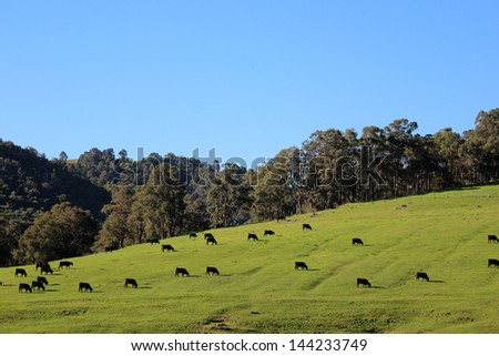 Cattle grazing on the green slopes of the Collie River Valley  Western Australia on a fine afternoon in early winter. - stock photo