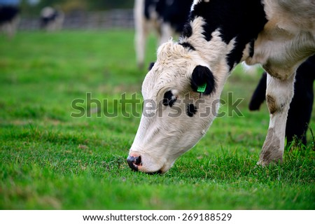 Cattle grazing. Pyeongchang Daegwallyeong Pasture in south korea. - stock photo