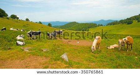 Cattle in a field on a hill in summer