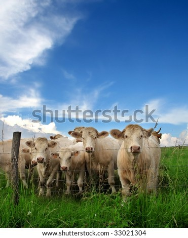 cattle in a grass field - stock photo