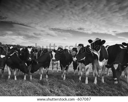 Cattle in black and white - stock photo