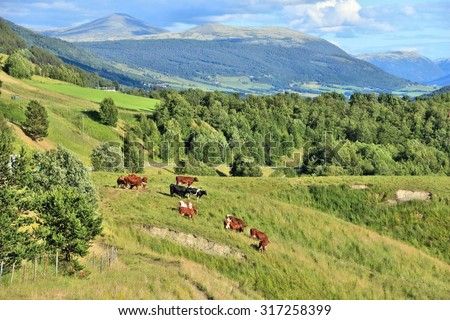 Cattle in Norway. Agricultural area in the region of Oppland. - stock photo