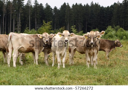Cattle in the Allgau. Germany - stock photo