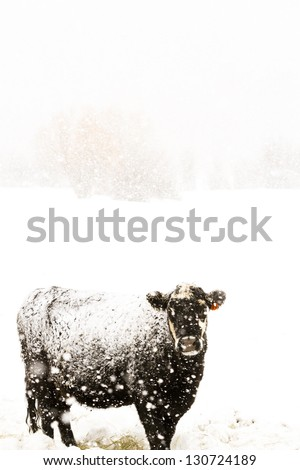 Cattle in the field during the snow storm. - stock photo