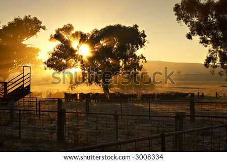 Cattle in the yard at sunrise with sun coming through a tree behind them - stock photo