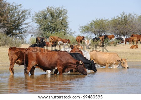 cattle in water - stock photo