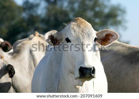 cattle nelore in brazilian farm - stock photo