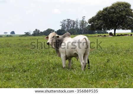 cattle nelore in pasture on brazilian farm - stock photo