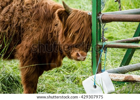 Cattle of a Scottish highland cow approaching a licking stone - stock photo