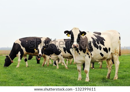 cattle of cows - stock photo