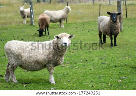 Cattle of mixed sheep in a sheep station in the south Island of  New Zealand. - stock photo