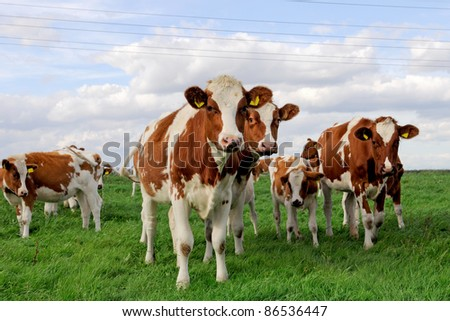 cattle of young  cow