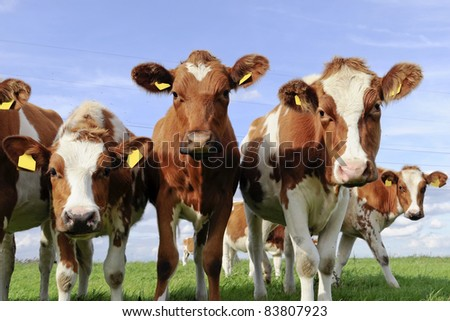 cattle of young cows - stock photo