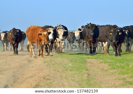 cattle of young cows in spring time - stock photo